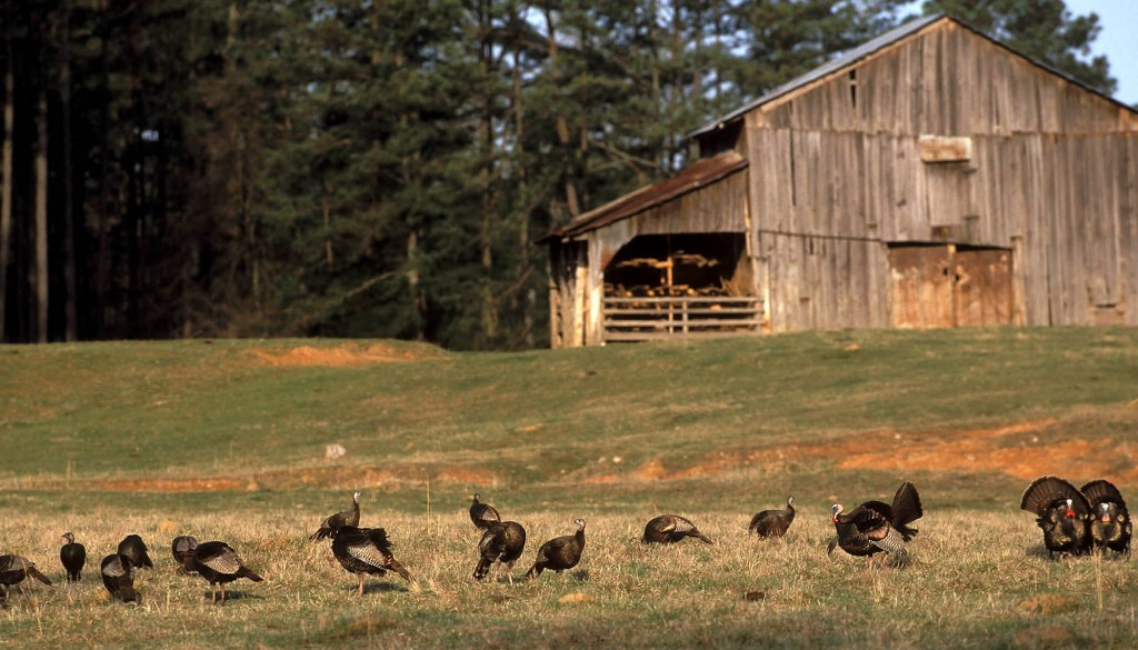 this may be your last turkey season hunt daily