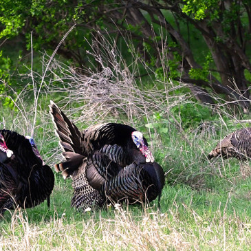 Top Five Turkey Hunting Must-Haves